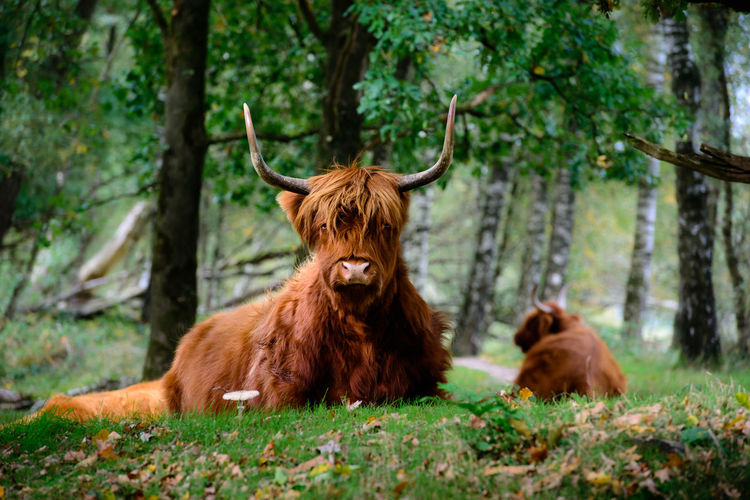 Highland Cattle Sitting On Field