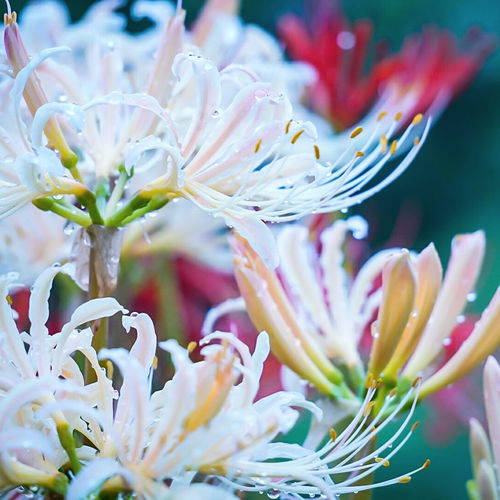 Close-up of fresh wet white lily flowers blooming outdoors