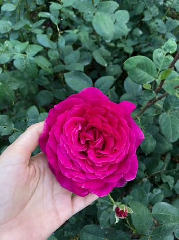 In My Hand Pink Rose Beauty In Nature Close-up Flower Flower Head Flowering Plant Fragility Freshness Hand Human Hand Inflorescence Nature Outdoors Petal Pink Color Pink Flower Plant Rosé Rose - Flower Vulnerability