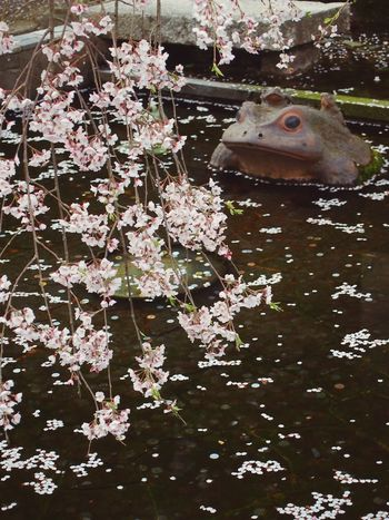 Scenery Flowers Sakura Japan Kyoto Blossom Sakura2015 EyeEm Gallery Arashiyama Tenryuu-ji Temple Pond From My Point Of View Ultimate Japan