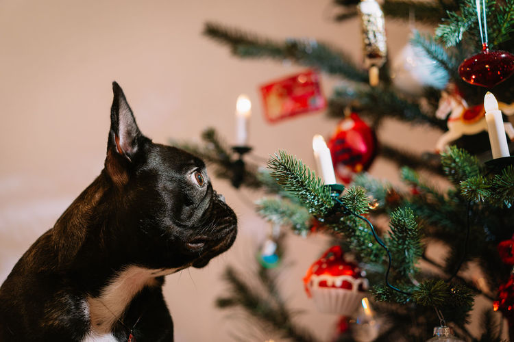 Black french bulldog dog and a christmas tree