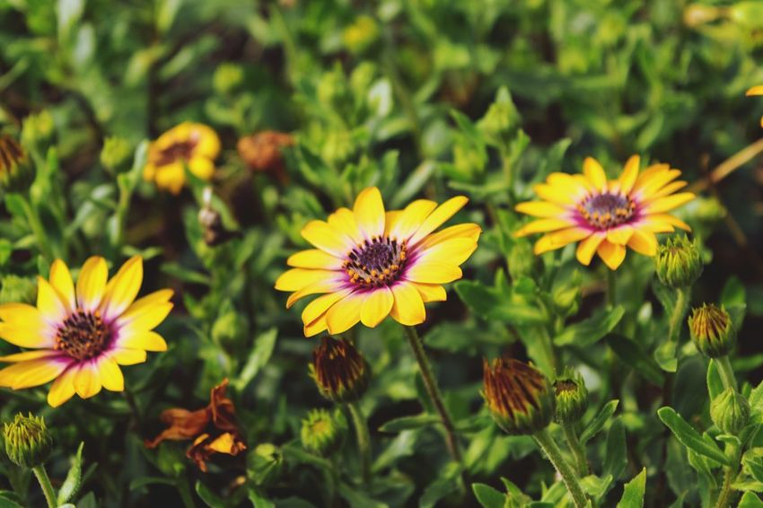 Flower Plant Nature Summer Yellow Tranquility Day Botany Flower Head Outdoors Close-up No People Sunlight Multi Colored Growth Outdoor Pursuit Rural Scene Nature Reserve Uncultivated Petal Live For The Story The Great Outdoors - 2017 EyeEm Awards