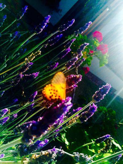 Walking Around Pretoria City WestCity Flowers Butterfly Flowers,Plants & Garden Sunny Afternoon