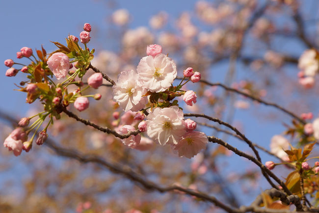 Beauty In Nature Blossom Branch Cherry Blossom Cherry Tree Close-up Day Flower Flower Head Flowering Plant Fragility Freshness Growth Nature No People Outdoors Petal Pink Color Plant Pollen Spring Springtime Tree Twig Vulnerability