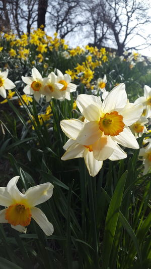 Spring 2016 Spring Has Arrived Sunshine Beautiful Mobilephotography Edinburgh Walking Around Daffodils Nature Yellow Flowers