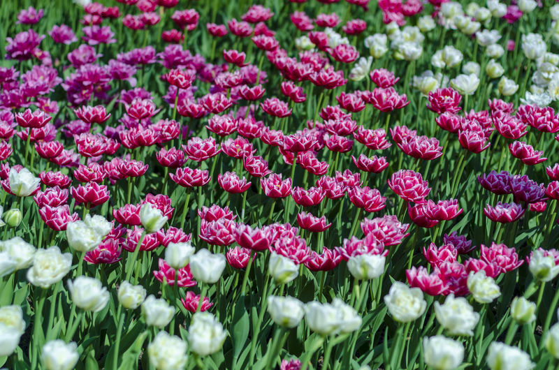 Flower Flowering Plant Plant Beauty In Nature Freshness Fragility Close-up Vulnerability  Pink Color Growth Nature Petal No People Day Flower Head Inflorescence Land Selective Focus Field Springtime Outdoors Flowerbed