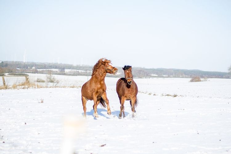 Snow Winter Cold Temperature Domestic Animals Outdoors Animal Themes Nature Landscape Sky Horses Playing Pet Portraits Shades Of Winter Holiday Moments