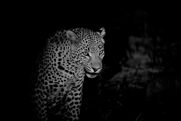 Leopard in the wild at night