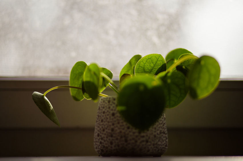Green Color Pilea Peperomioides Succulents Chinese Money Plant Close-up Evergreen Focus On Foreground Fragility Indoors  Leaf Leaf Vein Leaves Lefse Plant Missionary Plan Pancake Plant Perennialx Plant Succulent Plant Window Sill