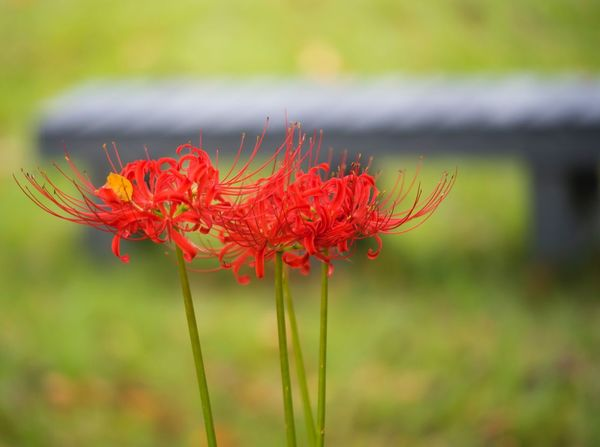 cluster amaryllis Flower Growth Red Nature Beauty In Nature Petal Plant Fragility Focus On Foreground Freshness Flower Head Close-up Field Blooming Outdoors Day No People Poppy
