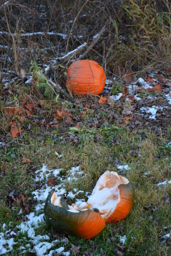 Early Pumpkin Snow Frost Michigan Orange Split Torn Apart Broken Close-up Crop  Crops Damaged Day Destroyed Destroyed Crop Early Snowfall Field Grass Halloween No People Orange Color Outdoors Pumpkin Pumpkin Patch Pumpkinpatch Smashed Pumpkin Snow