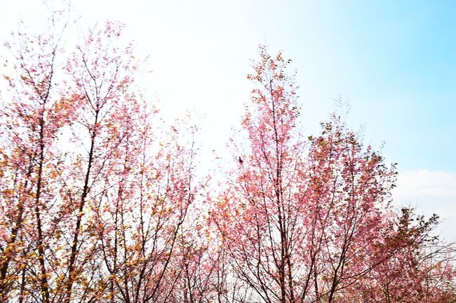 Beauty In Nature Day Nature Pink Pink Color Sky Tree