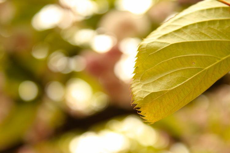 One Leaf Bokeh