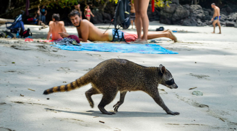 Manuel Antonio Manuel Antonio National Park Costa Rica 🇨🇷 Manuel Antonio Park Wild Animal Animal Themes Animals In The Wild Beach Day Nature One Animal Outdoors Raccoon Racoon Sand
