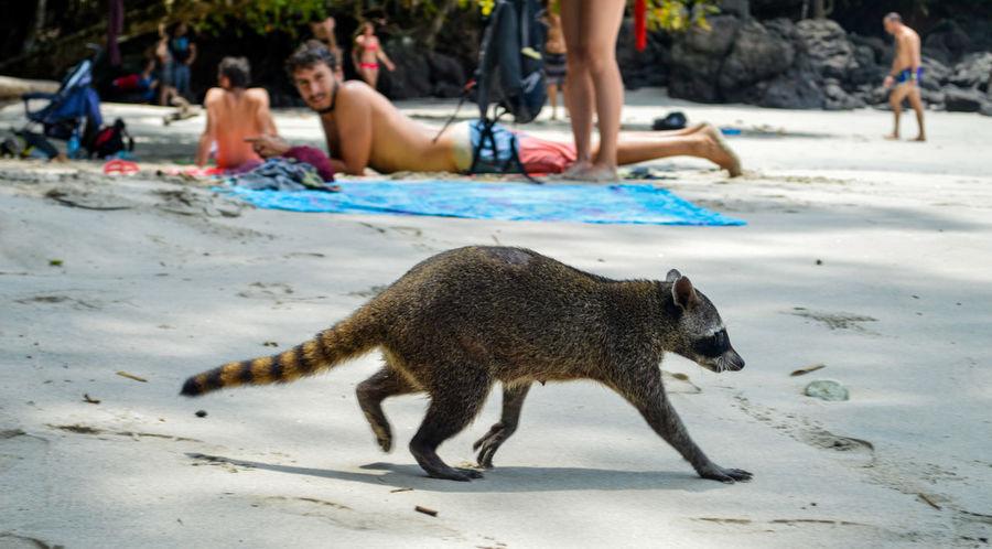 Manuel Antonio Manuel Antonio National Park Costa Rica 🇨🇷 Manuel Antonio Park Wild Animal Animal Themes Animals In The Wild Beach Day Nature One Animal Outdoors Raccoon Racoon Sand