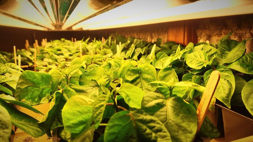 sea of the world's hottest peppers Garden Farm Life Greenthumb Ghost Peppers Trinidad Scorpion Moruga From Seed Leaf Agriculture Greenhouse Plant Close-up Green Color