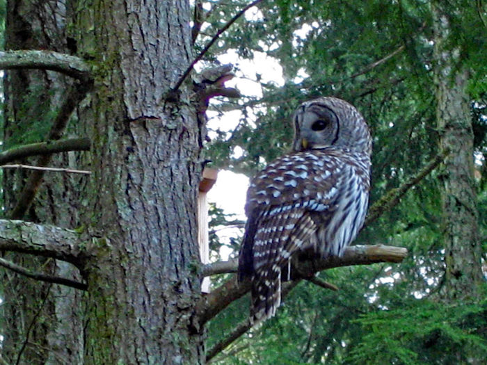 Barred owl Wild Wild And Free Wildlife And Nature Habitat Coniferous Tree Fir Trees Old Growth Barred Owl Grey Nocturnal Animal Forest Beauty In Nature Tree Animal Themes Bird Animal Plant Animal Wildlife One Animal Tree Trunk Vertebrate Perching Bird Of Prey Day Branch Forest Owl Outdoors Trunk Nature