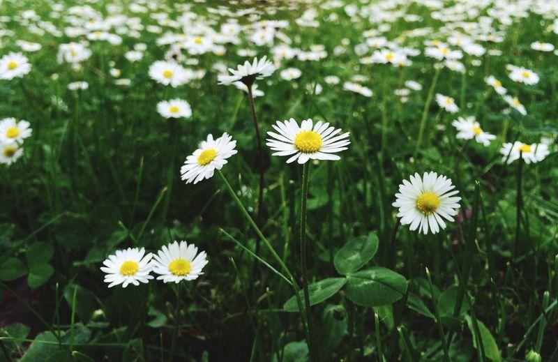 Flowers Grass Spring-summer Colors Daisy Daisy Flower Daisies