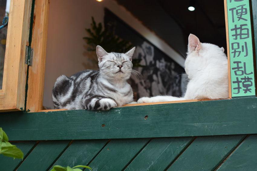 Animal Themes Cat Domestic Animals Domestic Cat Indoors  No People Pets 猫住咖啡 Pet Portraits