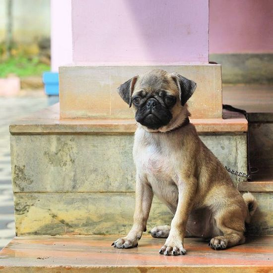Jainy Pug Puppy After_bath Naughty Life Happy Cute Ck