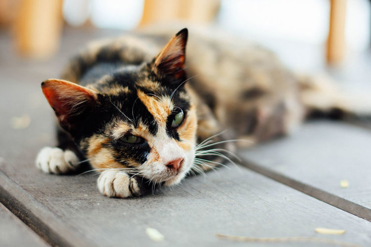 Close-up of a cat resting on floor