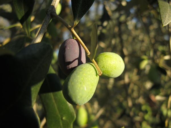 Close-up Day Focus On Foreground Food Freshness Fruit Green Color Growth Leaf Nature No People Olive Tree Olives & Olives Outdoors Tree