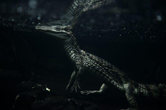 Alligator Animal Themes Animals In The Wild Close-up Kaiman Nature No People One Animal Reptile Water