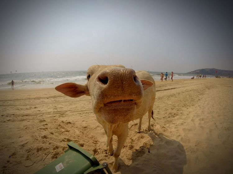 EyeEm Selects Cow Sand Beach Animal Themes Sea Nature One Animal Domestic Animals Clear Sky Sky Mammal Outdoors Horizon Over Water Day Water No People Baga Goa Connected By Travel