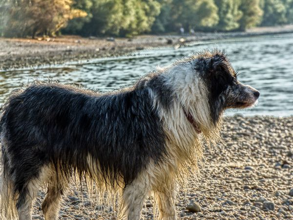 thinking EyeEm Eyemphotography EyeEm Best Shots Natural Water Danube Panasonic Lumix Panasonic  Border Collie Water Pets Beach Dog Sand Animal Themes Close-up Horizon Over Water Wave