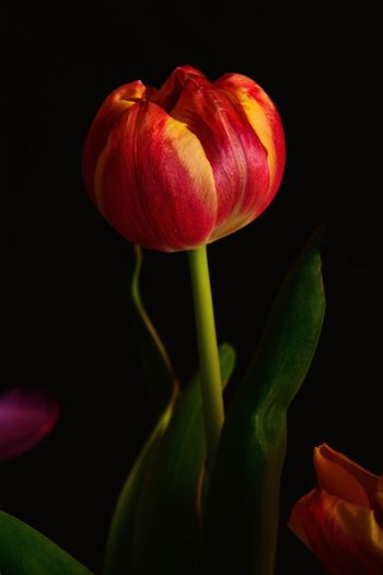 Red and Yellow Tulip Tulip Red Tulip Red Yellow Flowers Freshness Petal Growth Flower Black Background Close-up No People Red Beauty In Nature Plant Fragility Flower Head Nature Studio Shot Day