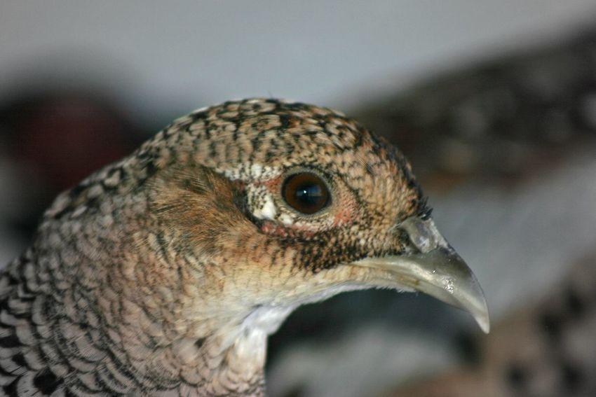 Hen Pheasants Pheasants Forever ~ Pheasant Bird Photography Birdwatching