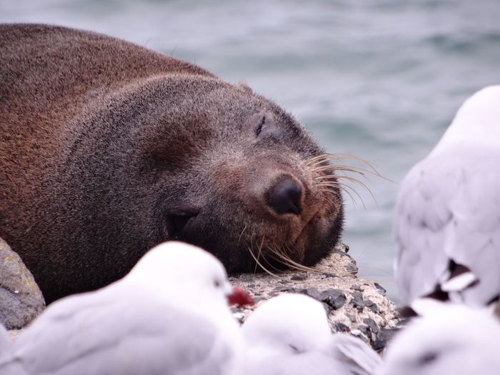 Close-up of seal sleeping on rock by sea