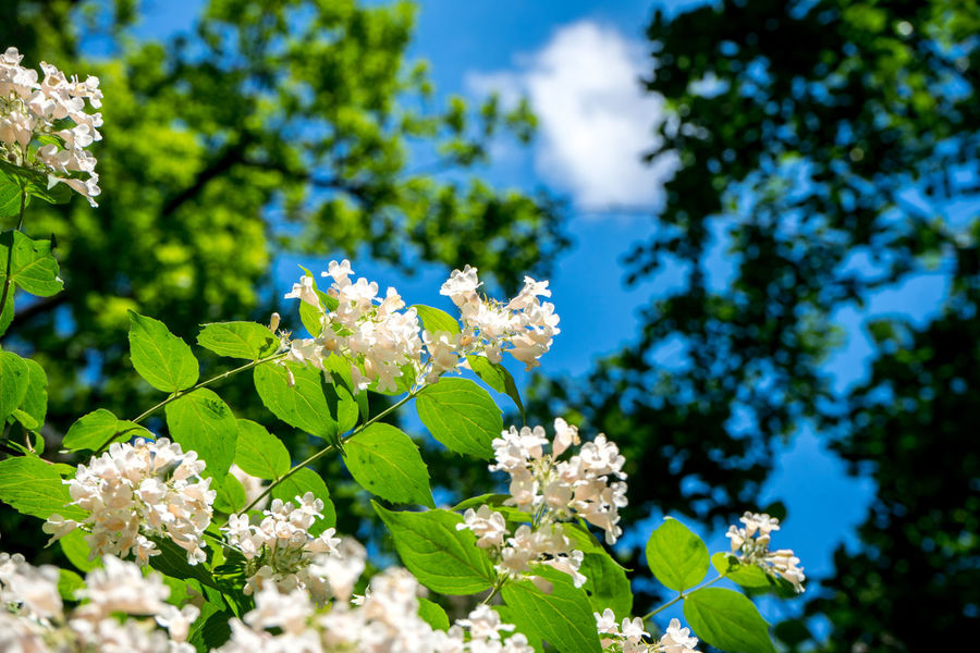 Beauty In Nature Blue Close-up Day Flower Flower Head Flowering Plant Focus On Foreground Fragility Freshness Green Color Growth Leaf Lilac Nature No People Outdoors Petal Plant Plant Part Pollination Sky Springtime Tree Vulnerability