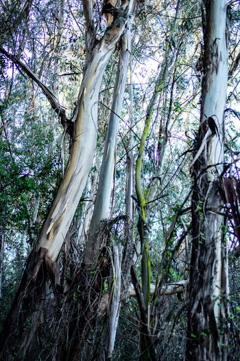 Tree Plant Tree Trunk Trunk Forest Land Growth Day Beauty In Nature Tranquility Low Angle View No People Nature Branch Outdoors WoodLand Plant Part Green Color Tranquil Scene Scenics - Nature Rainforest