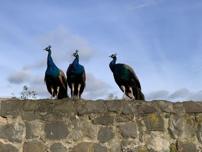 Low angle view of peacocks on retaining wall