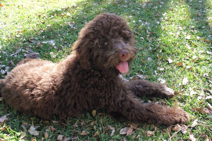 pet portrait Pet Pet Portrait Dog Dogs Puppy Outdoors Grass Animals Animal Animal Themes Animal Photography Lagotto Romagnolo LaGottoRomagnolo Brown Furry Furry Friends Showcase June Pet Portraits