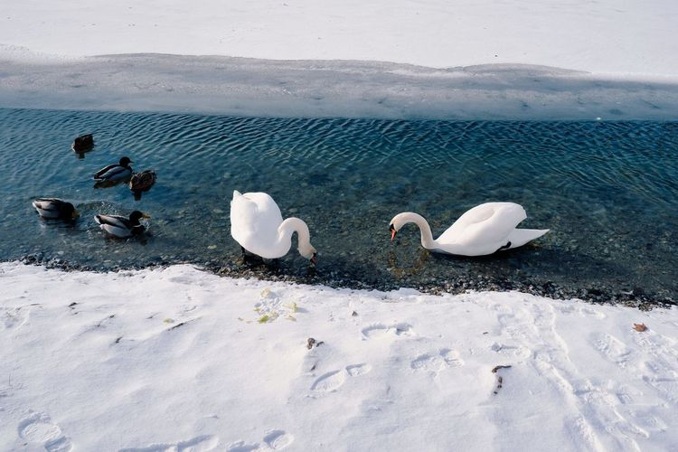 High angle view of swans on snow covered landscape
