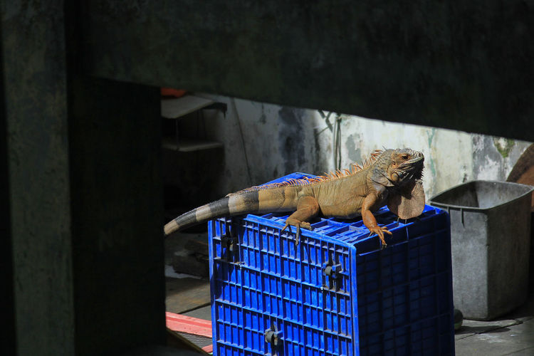 Gembira loka zoo, yogyakarta, indonesia, april 12th, 2018. red iguana basking in the sun.