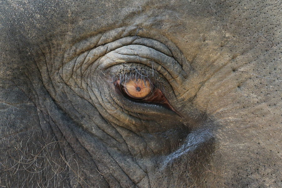 Animal Eye Animal Themes Animal Wildlife Animals In The Wild Backgrounds Close-up Day Elephant Elephant Eye Elephant ♥ Elephants Elephent Indian Elephant Mammal Nature No People One Animal Outdoors