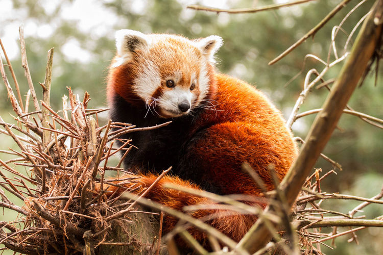 Animal Themes Cute Animals Daytime Furry Nature Outdoors Park Red Panda Sweet Tree