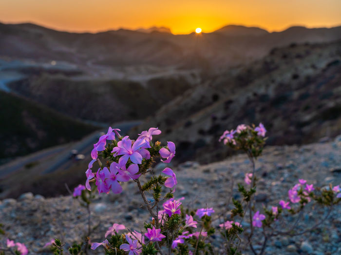 Pink flowering plants on land against mountains during sunset
