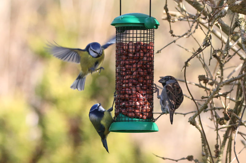 Bird feeder chaos Bird Animal Themes Bird Feeder Animal Vertebrate Animal Wildlife Animals In The Wild Group Of Animals Focus On Foreground Flying Day Food Hanging Two Animals Nature No People Food And Drink Outdoors