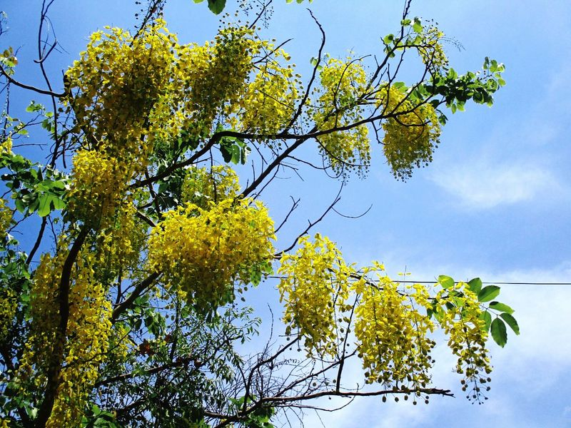 Tree Yellow Nature No People Sky Growth Branch Outdoors Low Angle View Beauty In Nature Tranquility Day Willow Tree Close-up Freshness ราชพฤกษ์ ดอกคูน