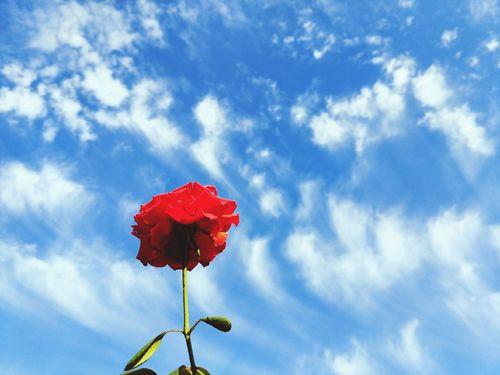 Flower Flower Head Poppy Red Blue Sky Close-up Cloud - Sky