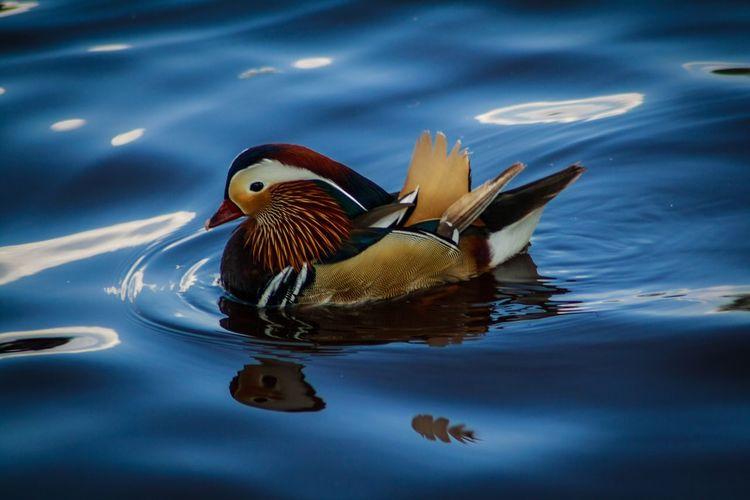 Mandarin Duck Swimming On Lake