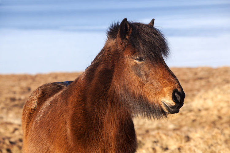 Animal Themes Animal Wildlife Animals In The Wild Close-up Day Domestic Animals Horse Iceland Iceland_collection Mammal Nature No People One Animal Outdoors Sea Side View