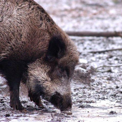 Im Wildpark von Güstrow müssen sich die Wildschweine das Futter suchen. Wildschwein Schnee Wildpark Zoo Wochenende Urlaub