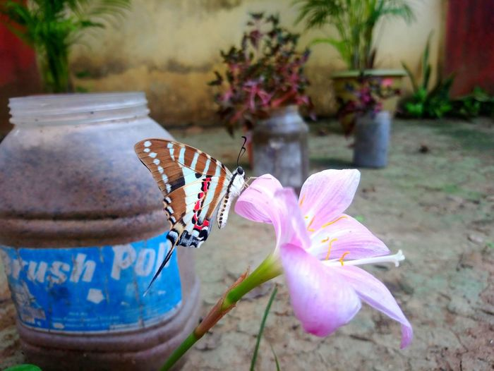 Random Close-up Nature Flower Pink EyeEm Nature Lover Popular Photos OpenEdit Insect Swallowtail Swallowtail Butterfly Colorful Flower Butterfly - Insect Pollination Butterfly Symbiotic Relationship Animal Wing Animal Antenna
