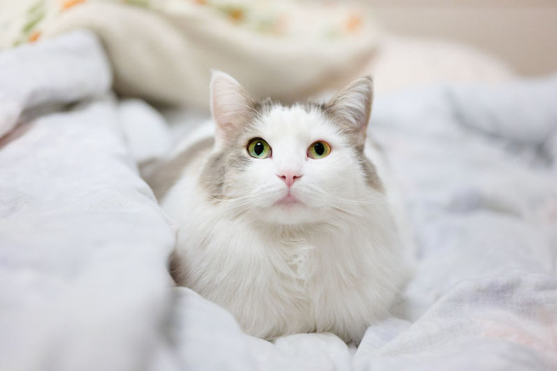 White cat sitting on bed