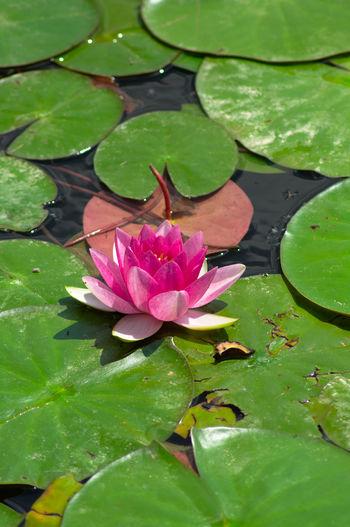 Sea Rose 2